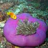 Maldive Anemonefish, Amphiprion nigripes & Magnificent Sea Anemone, Heteractis magnifica  6200 (10)