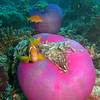 Maldive Anemonefish, Amphiprion nigripes & Magnificent Sea Anemone, Heteractis magnifica  6200 (12)