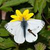 Green-veined White, Pieris napi 8272