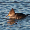 Hooded Merganser, female, Lophodytes cucullatus 6944