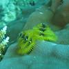 Christmas tree worm, Spirobranchus giganteus 5144