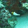 Bicolour Parrotfish, Cetoscarus bicolor, juvenile 5116