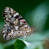 Painted Lady, Vanessa cardui 3532
