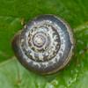 Kentish Snail, Monacha cantiana P1110652