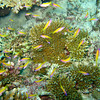 Yellowtail Anthias, pseudanthias evansi 6630
