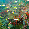 Yellowtail Anthias, pseudanthias evansi 6632