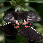 Papilio polytes, Common Mormons mating 0965