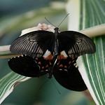 Papilio polytes, Common Mormons mating 0854