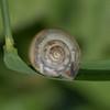Kentish Snail, Monacha cantiana P1050641