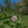 Kentish Snail, Monacha cantiana 0465