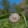 Kentish Snail, Monacha cantiana 0468