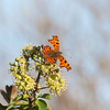 Comma, Polygonia c-album 4375
