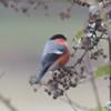 Bullfinch, Pyrrhula pyrrhula 6400