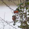 Bullfinch, Pyrrhula pyrrhula 6365