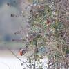 Bullfinch, Pyrrhula pyrrhula 6409