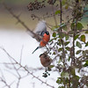 Bullfinch, Pyrrhula pyrrhula 6388