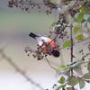 Bullfinch, Pyrrhula pyrrhula 6420
