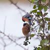 Bullfinch, Pyrrhula pyrrhula 6378