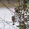 Bullfinch, Pyrrhula pyrrhula 6364