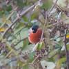 Bullfinch, Pyrrhula pyrrhula 6410