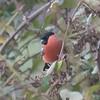 Bullfinch, Pyrrhula pyrrhula 6404