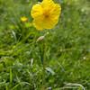 Rock-rose, Helianthemum chamaecistus IMG_2240
