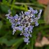 Sea Lavender, Limonium vulgare DSC_9374
