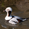 Long-tailed Duck, male, Clangula hyemalis