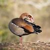 Egyptian Goose, Alopochen aegyptiacus 8152