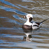 Long-tailed Duck, Clangula hyemalis 8251