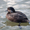 Common Scoter, Melanitta nigra, female 8247