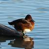 Ferruginous Duck, Aythya nyroca 5086