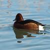 Ferruginous Duck, Aythya nyroca 5051