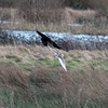 Barn Owl, Tyto alba attacked by Carrion crow, Corvus corone 0672