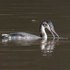 Great Crested Grebe, Podiceps cristatus 3333