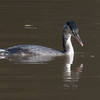 Great Crested Grebe, Podiceps cristatus 3337