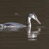 Great Crested Grebe, Podiceps cristatus 3335