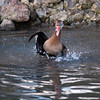 Black-bellied Whistling Duck, Dendrocygna autumnalis 3283