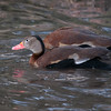 Black-bellied Whistling Duck, Dendrocygna autumnalis 3275