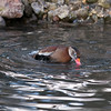 Black-bellied Whistling Duck, Dendrocygna autumnalis 3282