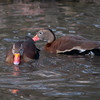 Black-bellied Whistling Duck, Dendrocygna autumnalis 3274