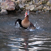 Black-bellied Whistling Duck, Dendrocygna autumnalis 3284