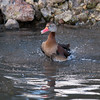 Black-bellied Whistling Duck, Dendrocygna autumnalis 3285