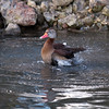 Black-bellied Whistling Duck, Dendrocygna autumnalis 3286