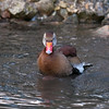Black-bellied Whistling Duck, Dendrocygna autumnalis 3279