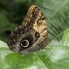 Owl, Caligo memnon P1180914