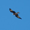 Red Kite, Milvus milvus 4315