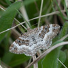 Common Carpet moth, Epirrhoe alternata DSC_2729