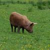 Tamworth Pig, Sus scrofa domesticus DSC_4623