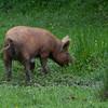 Tamworth Pig, Sus scrofa domesticus DSC_4626